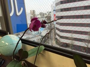 出版記念で頂いた蘭の花が5年目の今年も咲きました!