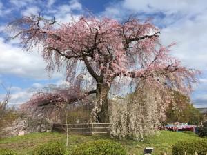 八坂神社の見事なしだれ桜 巻頭